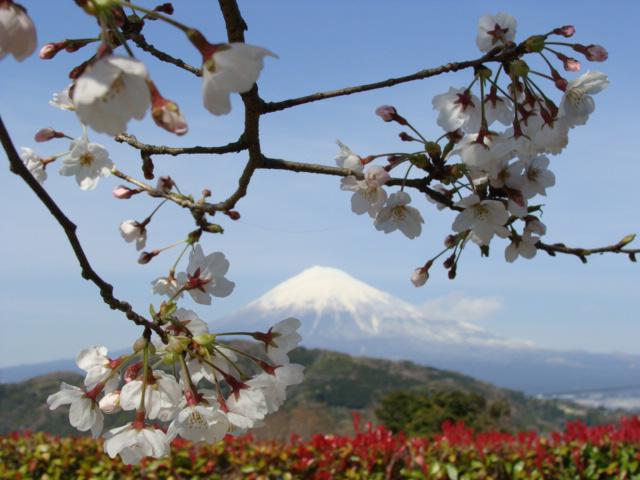 春と富士山